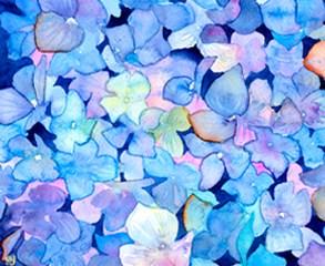 Ginny Joyner Hydrangeas close-up